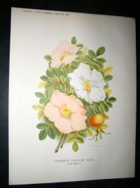 Amateur Gardening 1888 Antique Botanical Print. Japanese Fruiting Rose